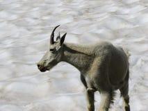 石山羊oreamnos美洲在去对这太阳路,沿供徒步旅行的小道在摇石通行证冰川国家公园蒙大拿美国 图库摄影