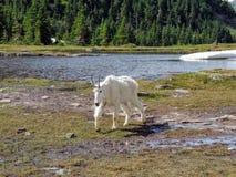 石山羊oreamnos美洲在去对这太阳路,沿供徒步旅行的小道在摇石通行证冰川国家公园蒙大拿美国 免版税库存照片