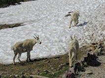 石山羊oreamnos美洲在去对这太阳路,沿供徒步旅行的小道在摇石通行证冰川国家公园蒙大拿美国 库存图片