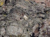 石山羊oreamnos美洲在去对这太阳路,沿供徒步旅行的小道在摇石通行证冰川国家公园蒙大拿美国 免版税图库摄影
