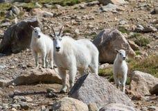 石山羊Oreamnos美洲女性和两个孩子临近t 免版税库存图片
