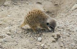 石开掘的地面的meerkat 库存图片