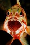 石斑鱼在红海 免版税库存图片