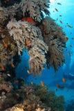 石斑鱼家庭的红海 免版税库存图片