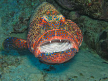 石斑鱼红色 免版税库存图片