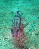 石斑鱼纵向红色 免版税库存图片