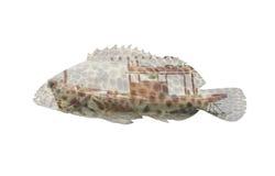 石斑鱼鱼在白色背景隔绝的两次曝光小船 图库摄影