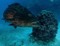 石斑鱼,水下的图片 库存图片