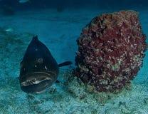 石斑鱼,水下的图片 免版税库存照片