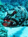 石斑鱼 库存图片
