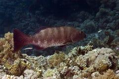 石斑鱼 库存照片