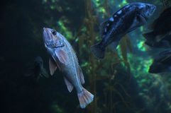 石斑鱼 免版税库存照片