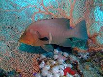 石斑鱼redmouth 库存图片