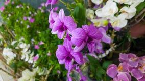 石斛兰属兰花一朵美丽的紫色花 免版税库存照片