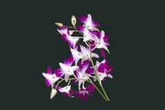 石斛兰属兰花双色的PURPLE/WHITE被隔绝的背景 图库摄影