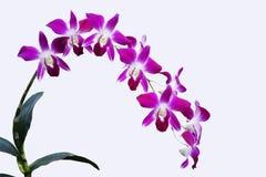 石斛兰属兰花双色的PURPLE/WHITE被隔绝的背景 库存照片