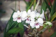 石斛兰属兰花双色的PURPLE/WHITE被隔绝的背景 库存图片