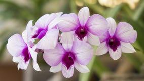 石斛兰属兰花,异乎寻常的花,生长在热带或亚热带气候 库存照片