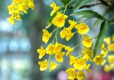 石斛兰属花在春天开花装饰natur秀丽  库存照片