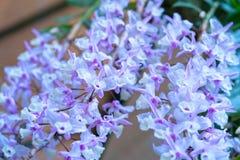 石斛兰属花在春天开花装饰natur秀丽  免版税库存图片