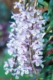石斛兰属花在春天开花装饰natur秀丽  免版税库存照片