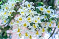 石斛兰属花在春天开花装饰natur秀丽  免版税图库摄影