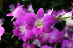 石斛兰属索尼娅,紫色兰花花 库存图片