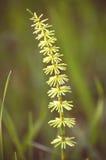 石松属的植物annotinum 库存照片