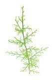 石松属的植物clavatum 库存图片