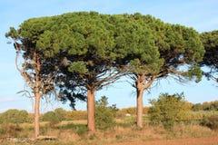 石松或遮阳伞杉树在奥德省 免版税库存照片