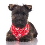 石标在一块红色班丹纳花绸的狗小狗 免版税库存图片