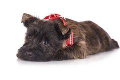 石标在一块红色班丹纳花绸的狗小狗 库存图片