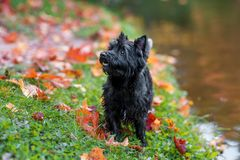 石标在草的狗狗 秋叶在背景中 画象 免版税库存图片