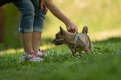 石标年纪狗的小狗13个星期-使用与他的在一个绿色草甸的所有者的逗人喜爱的小犬座 图库摄影