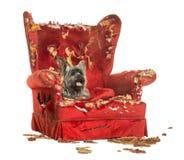 石标狗气喘,说谎在一把被毁坏的扶手椅子,被隔绝 库存照片