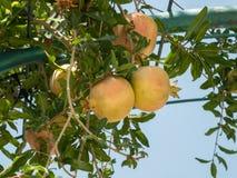 石榴成熟的果子  免版税库存照片
