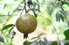 石榴果子在泰国 图库摄影