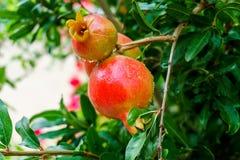 石榴果树栽培在一个绿色分支 免版税图库摄影