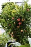 石榴树在广场的庭院里在科孚岛希腊海岛上的科孚岛镇的  免版税库存照片