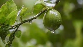 从石灰果子英尺长度的雨水下落 影视素材