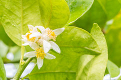石灰花,在树的柠檬开花 免版税库存照片