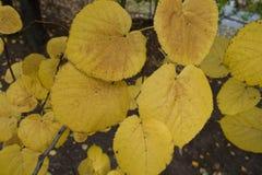 石灰黄色叶子特写镜头在10月 库存照片