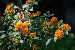 石灰蝴蝶或柠檬蝴蝶在花 库存照片