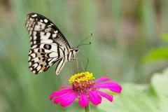 石灰蝴蝶的图象在自然背景的 昆虫动物 免版税库存照片