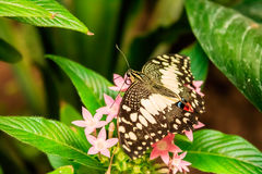 石灰蝴蝶Papilio demoleus 免版税库存图片