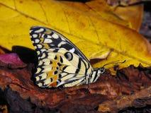 石灰Swallowtail被关闭的蝴蝶翼 库存图片
