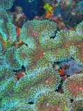 石珊瑚 免版税库存照片