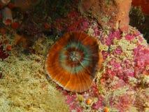 石珊瑚 库存图片