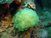 石珊瑚 免版税库存图片