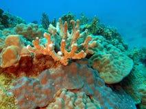 石的珊瑚 免版税库存图片